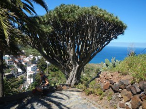Drachenbaum in Taganana